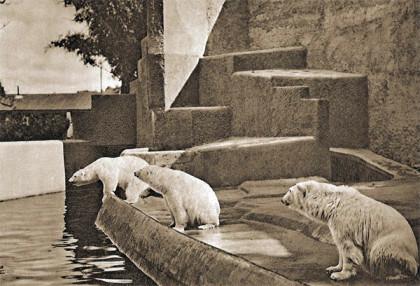 Nowoczesny wybieg niedźwiedzi polarnych w zoo na Pradze - 1939 rok.